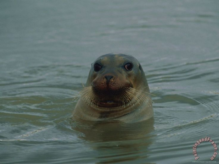 a_seal_pokes_its_head_out_of_the_water