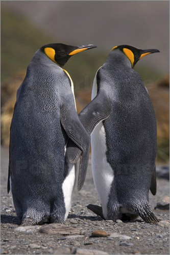 hugh-rose-a-pair-of-king-penguins-seal-their-pair-bond-as-part-of-their-mating-ritual-179269